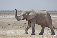 Free African Elephant Walking With Trunk Up. Stock Photos - 66703933