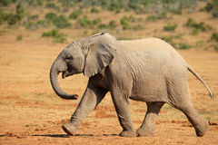 African elephant walking Royalty Free Stock Images
