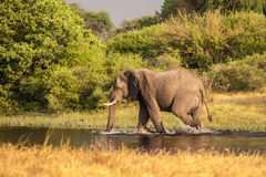 African Elephant walks in the river. Of Botswana reserve Royalty Free Stock Image