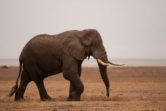 African elephant wandering in the Ngorongoro crater Royalty Free Stock Photo