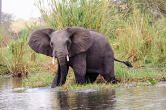African elephant watching closely Royalty Free Stock Photo