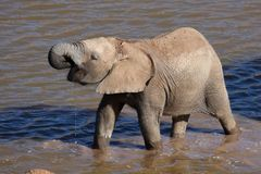 African Elephant in Water Stock Photos