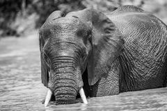 African Elephant in the water in black and white. African elephant having fun in the water in black and white in the Kruger National Park, South Africa royalty free stock photography