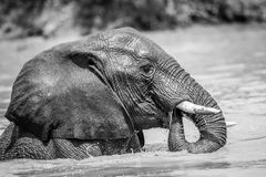 African Elephant in the water in black and white. African elephant having fun in the water in black and white in the Kruger National Park, South Africa royalty free stock photo
