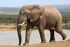 African Elephant at Waterhole Stock Photography