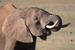 African Elephant at Waterhole Stock Images