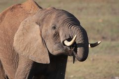 African Elephant at Waterhole Stock Image