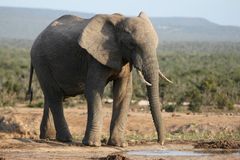 African Elephant at Waterhole Stock Photos