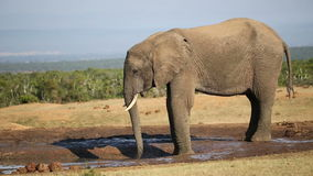 African elephant at waterhole stock video