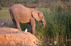 African Elephant at Waterhole Stock Photo