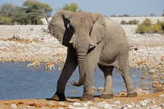 African elephant at waterhole Royalty Free Stock Image