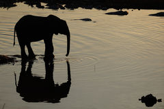 African elephant at a waterhole, etosha nationalpark, namibia Royalty Free Stock Photos