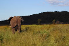 African Elephant in Welgevonden Stock Photography