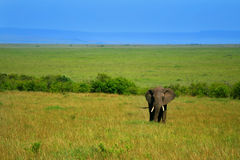 African Elephant in the wild. Africa. Kenya. Masai Mara stock images