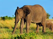 African Elephant in the wild. Africa. Kenya. Masai Mara stock photo