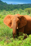 African Elephant in the wild Royalty Free Stock Photo