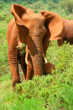African Elephant in the wild Royalty Free Stock Photography