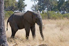 African Elephant in the Wild Stock Images