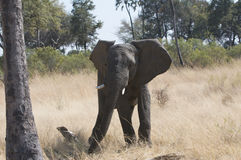 African elephant in wild Stock Image