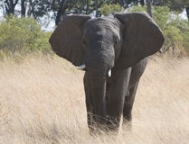 African Elephant in wild Royalty Free Stock Images