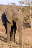 African Elephant in wild Royalty Free Stock Photography