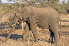 African elephant in wild Royalty Free Stock Photo