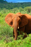 African Elephant in the wild. Africa Kenya Samburu national park royalty free stock images