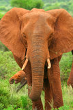 African Elephant in the wild. Africa. Kenya. Samburu national park stock photo
