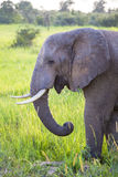African Elephant in the wild Stock Photos