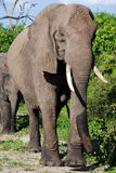 African elephant in wild savanna( Botswana) Stock Image