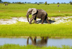 African elephant in wild savanna (Botswana). Dirty african elephant in wild grass savanna(National park Chobe, Botswana,South Africa Stock Photo