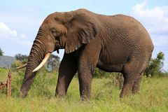 African Elephant in the wild. Walking majestically through the nature reserve. On holiday in Africa. Largest land mammal on Earth Stock Photos