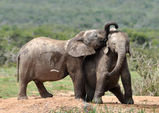 African Elephant wildlife kiss Stock Image
