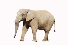 African Elephant With Clipping Path Royalty Free Stock Photography