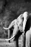 African Elephant (Loxodonta africana) in duplicate Stock Photography