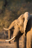 African Elephant (Loxodonta africana) in duplicate Stock Images
