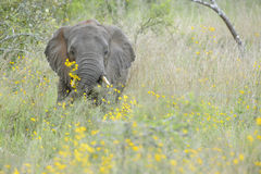 African Elephant between yellow flowers Royalty Free Stock Image