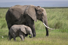African elephant with young in the bush Royalty Free Stock Photography