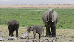 African elephant with young calves stock video footage