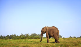 African elephant. Young rescued elephant in Knysna Elephant Park, South Africa Stock Photo