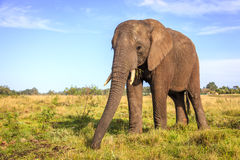 African elephant. Young rescued elephant in Knysna Elephant Park, South Africa Royalty Free Stock Photo