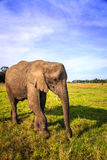 African elephant. Young rescued elephant in Knysna Elephant Park, South Africa Stock Image