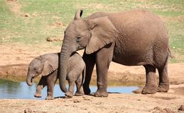 African Elephant Youngsters Stock Images