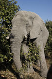 African Elephant - Zimbabwe. Bull Elephant (Loxodonta africana) in the African Bush in Zimbabwe royalty free stock photography