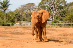 African Elephant. At the Zoo Grazing on Hay Stock Images