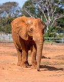 African Elephant. At the Zoo Grazing on Hay Royalty Free Stock Image