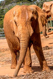 African Elephant. At the Zoo Grazing on Hay Stock Image