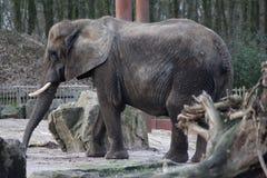African elephant zoo Stock Image