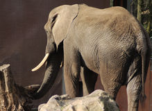 African elephant in zoo Stock Photos