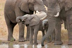Free African Elephants Stock Image - 1202851